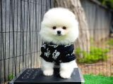 Orjinal Bembeyaz Pomeranian Boo yavrumuz