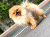 6 Aylık Dişi Teacup Pomeranian Boo