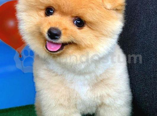 AA Kalite Safkan  Pomeranian Oğlumuz ALEX