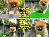 Orjinal renk ve sınıf Boo Pomeranian oğlumuz Pooh @yavrupatiler