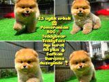 Safkan Ayı surat Teddybear Boo Pomeranian oğlumuz Bonny @yavrupatiler