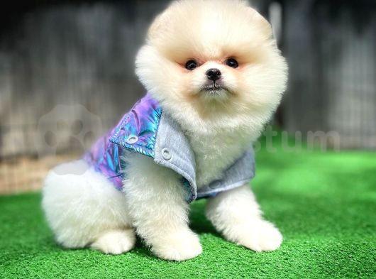 Gülen Tip Pomeranian Boo yavrumuz