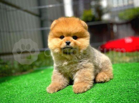 En iyi kalite Pomeranian Boo yavrumuz