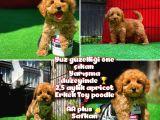 Nadir renk apricot Safkan Toy poodle oğlumuz@yavrupatiler uz