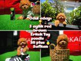 TAÇSIZ KRAL Soykan Red Brown Toy poodle oğlumuz @yavrupatiler