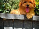 Yarışma duzeyinde Safkan Red Brown Toy poodle oğlumuz @yavrupatiler
