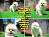 Orjinal Ayı surat Teddybear Boo Pomeranian oğlumuz BOLÇİ @yavrupatiler