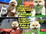 Orjinal Ayı surat Teddybear Boo Pomeranian oğlumuz Hariboo @yavrupatiler