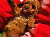 red brown toy poodle yavrumuz
