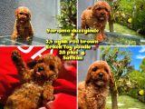 Orjinal renk Safkan Red Brown Toy poodle Oğlumuz Junior @yavrupatiler
