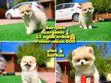 Orjinal Ayı surat Teddybear Boo Pomeranian Oğlumuz Kujo @yavrupatiler