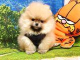 Teddy Face Pomeranian Boo Yavrularımız