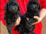 Sevimli black toy poodle yavrumuz