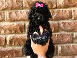 Siyah inci toy poodle erkek yavrumuz @catboyssss da