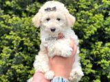 White minyatür poodle erkek yavru @catboyssss da