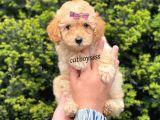 Dark apricot dişi toy poodle yavrumuz @catboyssss da