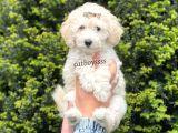 Minyatür white poodle erkek yavrular @catboyssss da