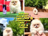 Basık surat 0,5 burun Yarışma Düzeyinde Safkan Boo Pomeranian @yavrupatiler