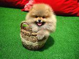 Yarışma Düzeyi Anne-Baba dan PomeranianBoo Oğlumuz