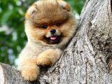 Muhteşem surat yapısına sahip Pomeranian boo yavrumuz