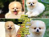Basık küt Kare micro 0,75 burun 3 aylik Teddybear Teddyface Ayı surat Pomeranian BOO A plus Safkan