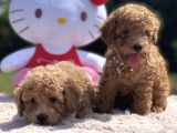 Toy poodle anne baba secereli @goldpuppiess