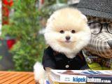 Güzelliğiyle göz dolduran 3 aylık erkek süs köpeği