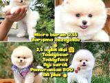 0,50 Mikro KÜT Burun Ödül Adayı 3A PLUS Safkan Boo Pomeranian @Yavrupatiler