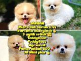 0,50 Mikro KÜT burun Ödül Adayı MİNİ BOY 3A PLUS Safkan Boo Pomeranian @yavrupatiler