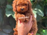 Red brown toy poodle erkek yavru @catboyssss da
