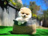 Sevimli Ve Yakışıklı Pomeranian Boo Oğlumuz HARİBO