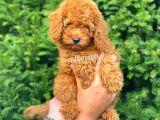Red toy poodle erkek bebek @catboyssss da