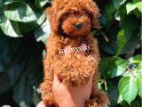 Red brown kızıl renk erkek toy poodle @catboyssss da