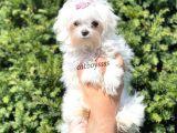 Muhteşem kore kan dişi maltese terrier yavru @catboyssss da