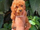 Red toy poodle dişi yavru @catboyssss da