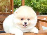 Dünya Tatlısı Kar Beyazı Dişi PomeranianBoo Yavrularımızdan/ İnstagram: pomeranianboodunyasi_
