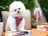 Özel üretim belgeli ırk ve sağlık garantili boo Pomeranian yavrularımız