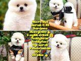 0,45 Mikro Küt Burun Teddyface Ödül Adayı AA Plus Safkan Boo Pomeranian @Yavrupatiler