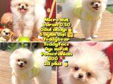 0,50 Mikro KÜT burun Ödül Adayı SAFKAN AA PLUS Safkan Boo Pomeranian @yavrupatiler
