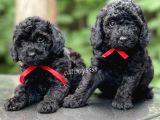 Sith inci black toy poodle yavrular (Dişi,erkek)