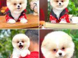 Özel üretim ruhsatlı safkan belgeli Pomeranian boo yavrularımız