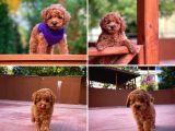 Mibi boy red brown toy Poodle yavrumuz
