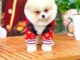 AA Kalite Safkan  Pomeranian Oğlumuz  Martin