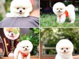 Mini boy ayı surat Pomeranian boo yavrumuz