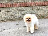 Irk ve sağlık garantili boo Pomeranian yavrularımız