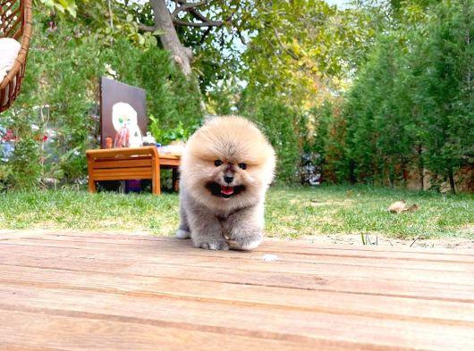 Mini boy Teacup Pomeranian boo yavrumuz