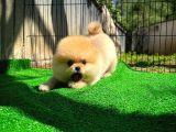 Fci secereli Yakışıklı sevimli Pomeranian boo. oğlumuz Pablo