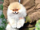 Kimlik karne pasaportlu Safkan Pomeranian Boo yavrumuz Mami