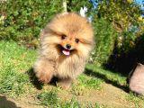 Teddy bear Orjinal Pomeranian Boo yavrumuz Dobbyyy