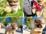 Sözleşmeli ırk ve sağlık garantili boo Pomeranian yavrularımız
